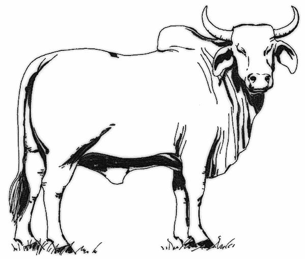 Cow Coloring Pages 2